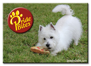 Pierre Westie playing with his PrideBites pizza