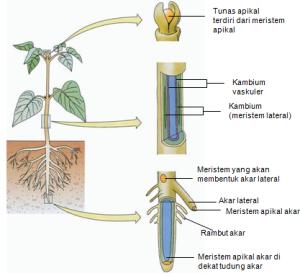 Struktur dan fungsi jaringan tumbuhan tipstricks sapu struktur dan fungsi jaringan tumbuhan ccuart Choice Image