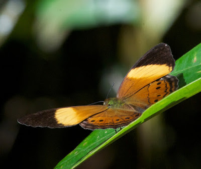 Banded Yeoman (Cirrochroa orissa orissa)