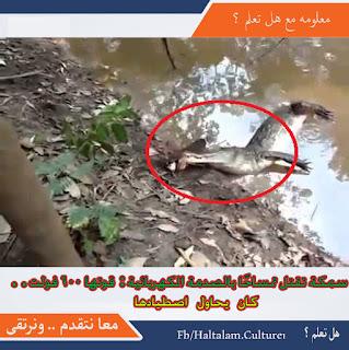 بالفيديو سمكة تقتل تمساح اراد اكلها  بصدمة كهربائية قوتها 600 فولت سبحان الله
