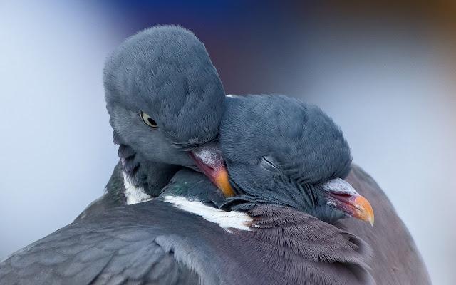 Foto van twee verliefde duiven aan het knuffelen
