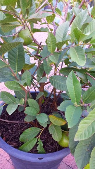 Guava plant growing in a pot