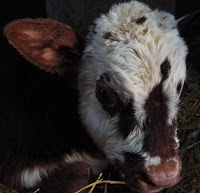 Normandy calf - rare breed organic dairy herd