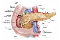 Pengertian, Fungsi, Stuktur, Gambar Anatomi dan Penyakit Pada Pankreas Terlengkap