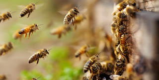 Gambar lebah sedang mencari manisan