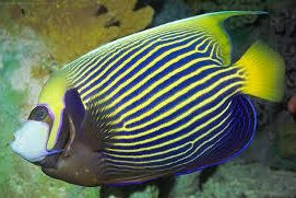 Angelfish (large)
