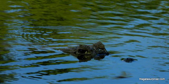 Jacaré em lagoa da Estância Mimosa - Bonito - MS