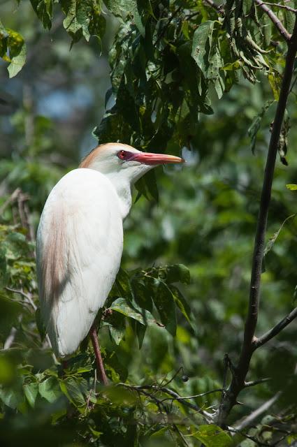Cattle Egret, UT Southwestern Rookery