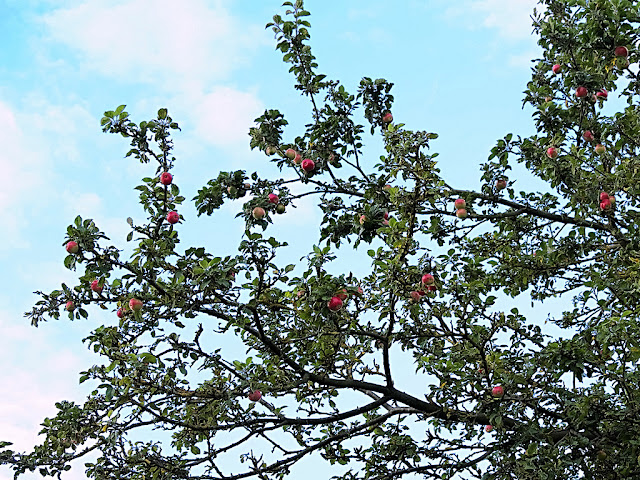 Branches of apples laden with apples against the sky