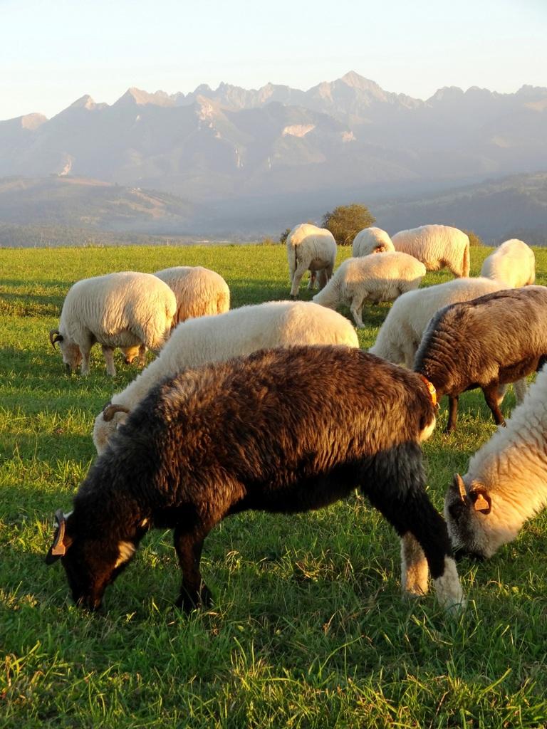 owce, redyk, owce na hali, tatry, podhale, zycie od kuchni