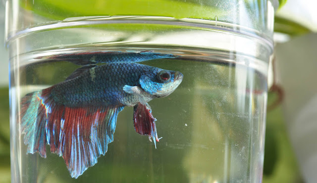 Cara Memilih Ikan Cupang Aduan Yang Bagus dan Berkualitas