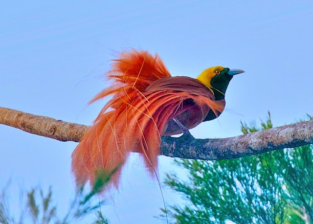 Raggiana Bird of Paradise (Paradisaea Raggiana)