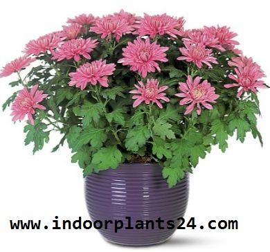 Florist's Chrysanthemum house plant image