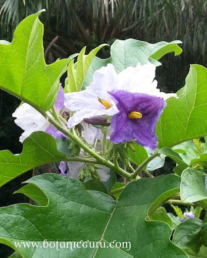Solanum wrightii flowers