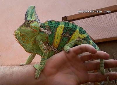 Macho de camaleón del Yemen (Chamaeleo calyptratus)