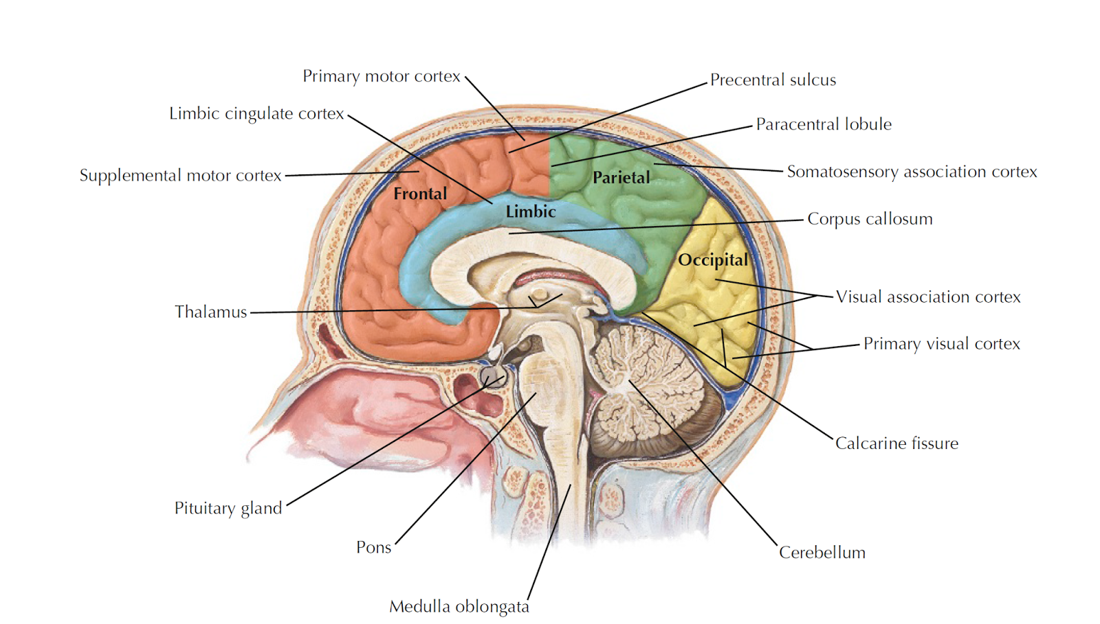 Labelled Diagram Of Human Brain 1975 Ford F250 Wiring June 2015