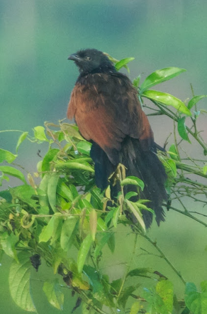 Lesser Coucal (Centropus bengalensis)