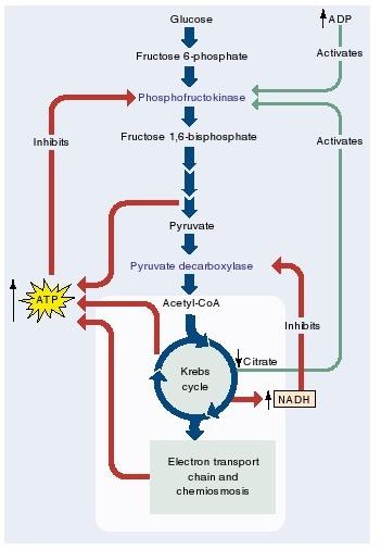 kontrol regulasi dalam glikoslisis oksidasi piruvat dan siklus krebs
