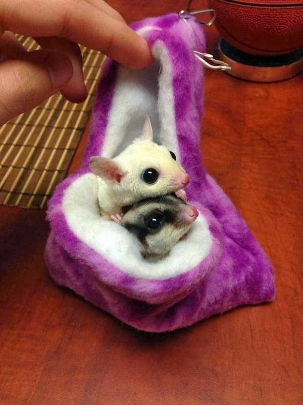 Funny animals of the week - 21 February 2014 (40 pics), two cute sugar glider in pocket