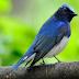 Download Suara Burung Selendang Biru Gacor Mp3 Untuk Masteran