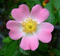 Wild Dog Rose (Rosa canina) in Shakespeare