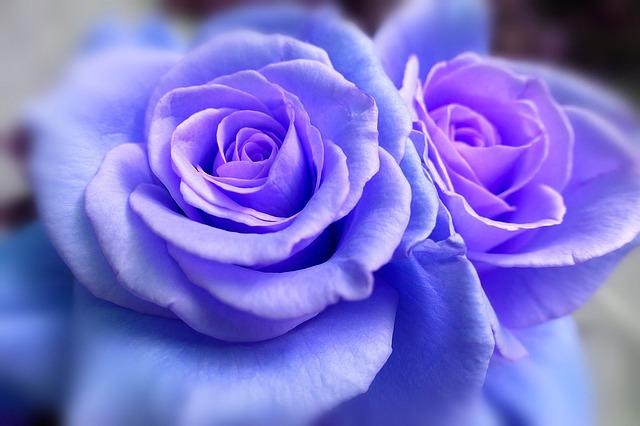 hoa hong xanh dep nhat the gioi