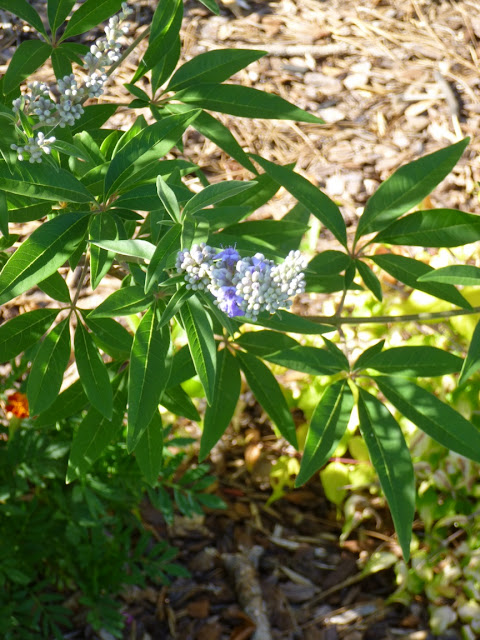 Vitex agnus-castus flowers just starting to bloom.