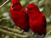 Harga Lovebird merah