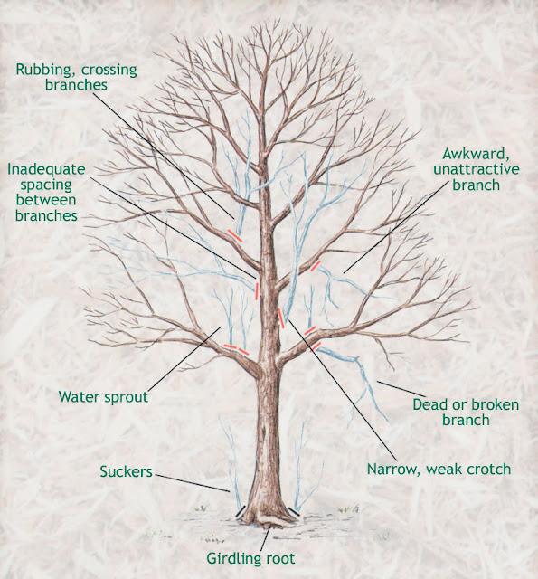 Arbor Veritas