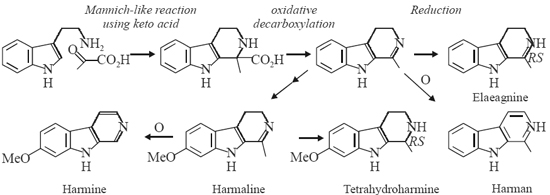 Biosynthesis of Elaeagnine, Harman, Harmaline and Harmine