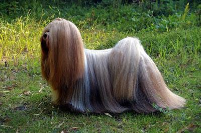 Lhasa-Apso-dog-كلب-لاسا-ابسو