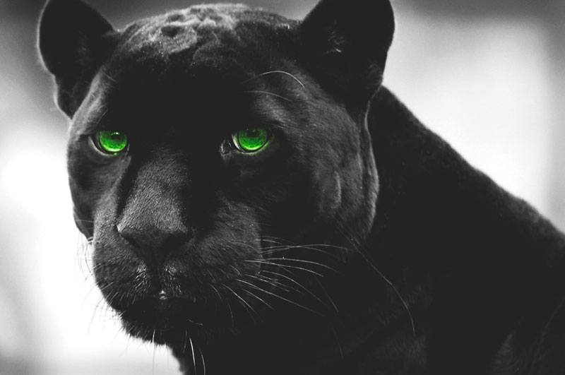 La Pantera Negra: Biodiversidad 1º Bachillerato: Adaptaciones De La Pantera