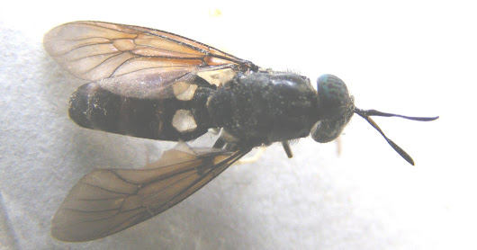 The Black Soldier Fly - Hermetia illucens