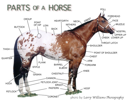 the american cowboy chronicles: horse facts, information ... horse trailer wiring diagram hanoverian horse diagram #2