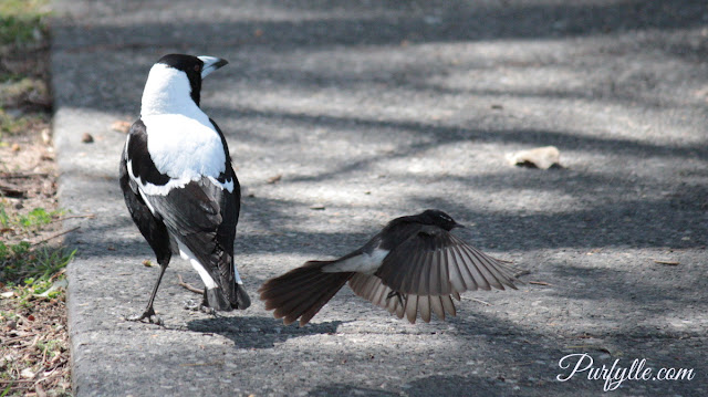 Willie Wagtail swooping a magpie, but Maggie isn't particularly concerned.