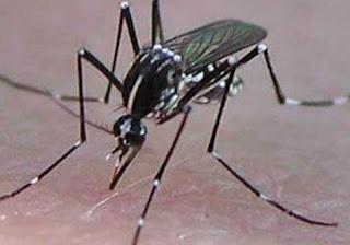 tratament virus tantarul negru asiatic
