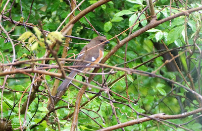 female towhee in rain