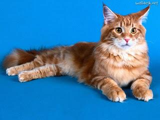 gato-maine-coon-raza-caracteristicas