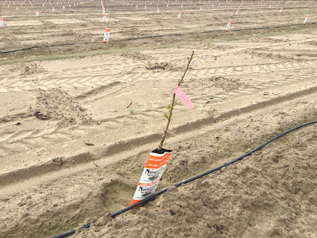 newly planted orchard tree