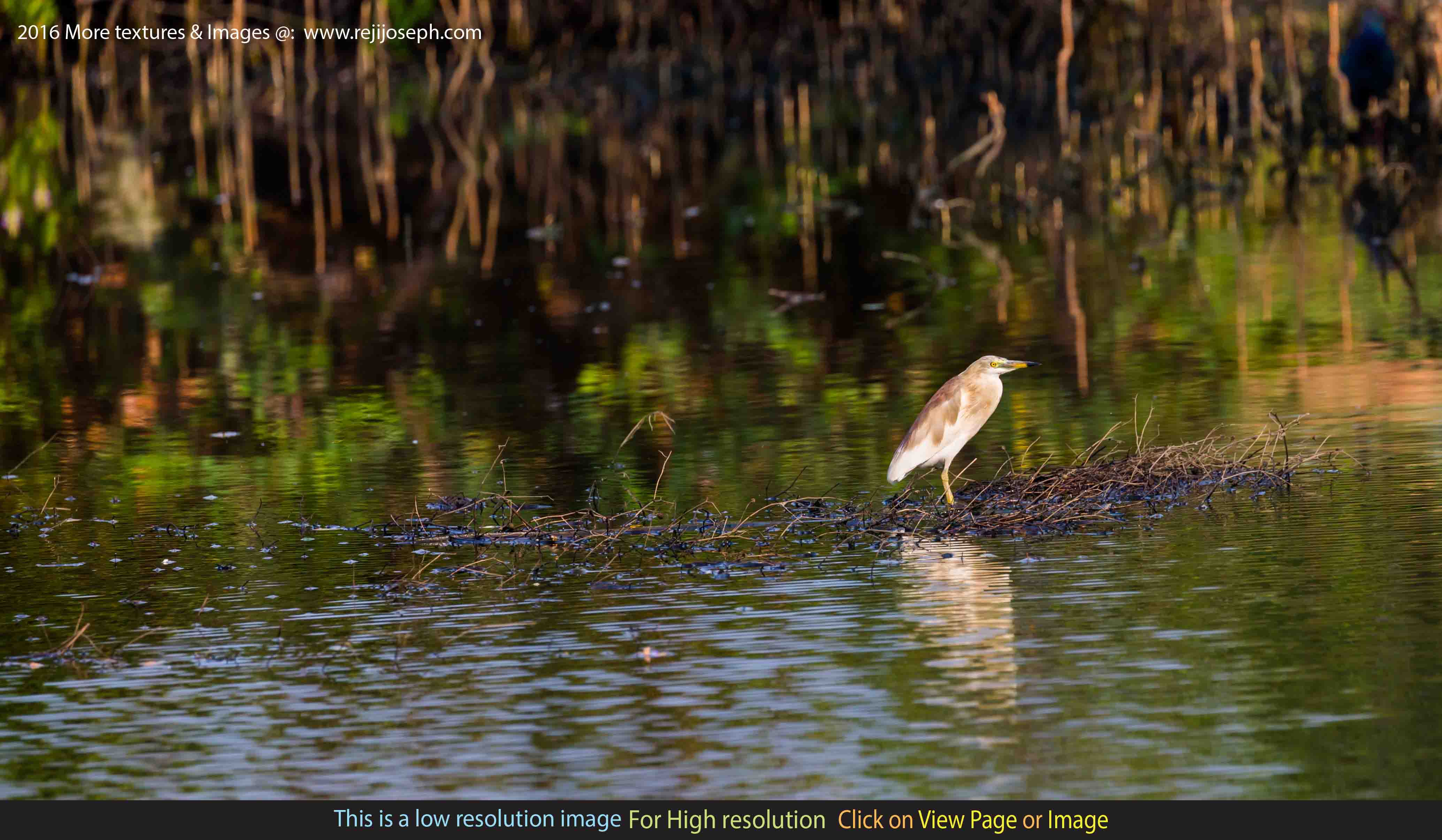 Indian Pond Heron Bird 00002