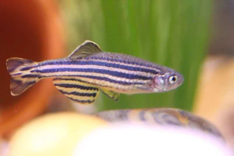1. Jenis Ikan Hias Aquascape - Zebra Danio