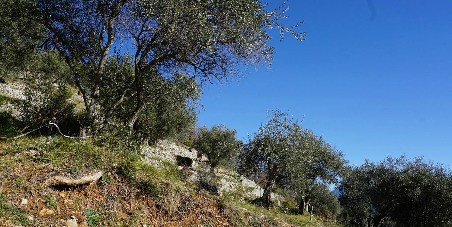 Olive grove above Le Broc