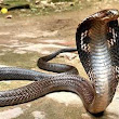 Girl Found King Cobra in a Refrigerator at Sircilla, Telangana