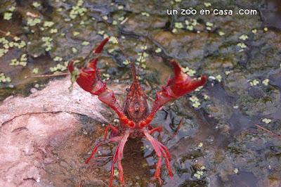 Cangrejo americano - Procambarus clarkii