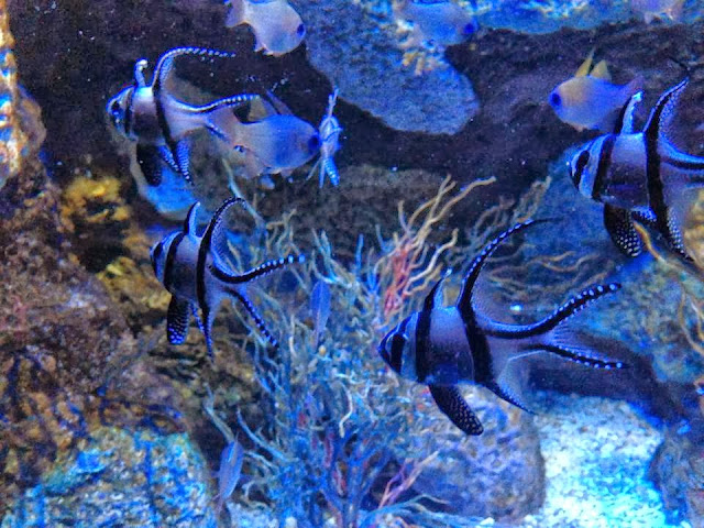 A school of Angel fish at the Sealife Centre Birmingham