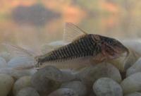 Jenis Ikan Corydoras treitlii
