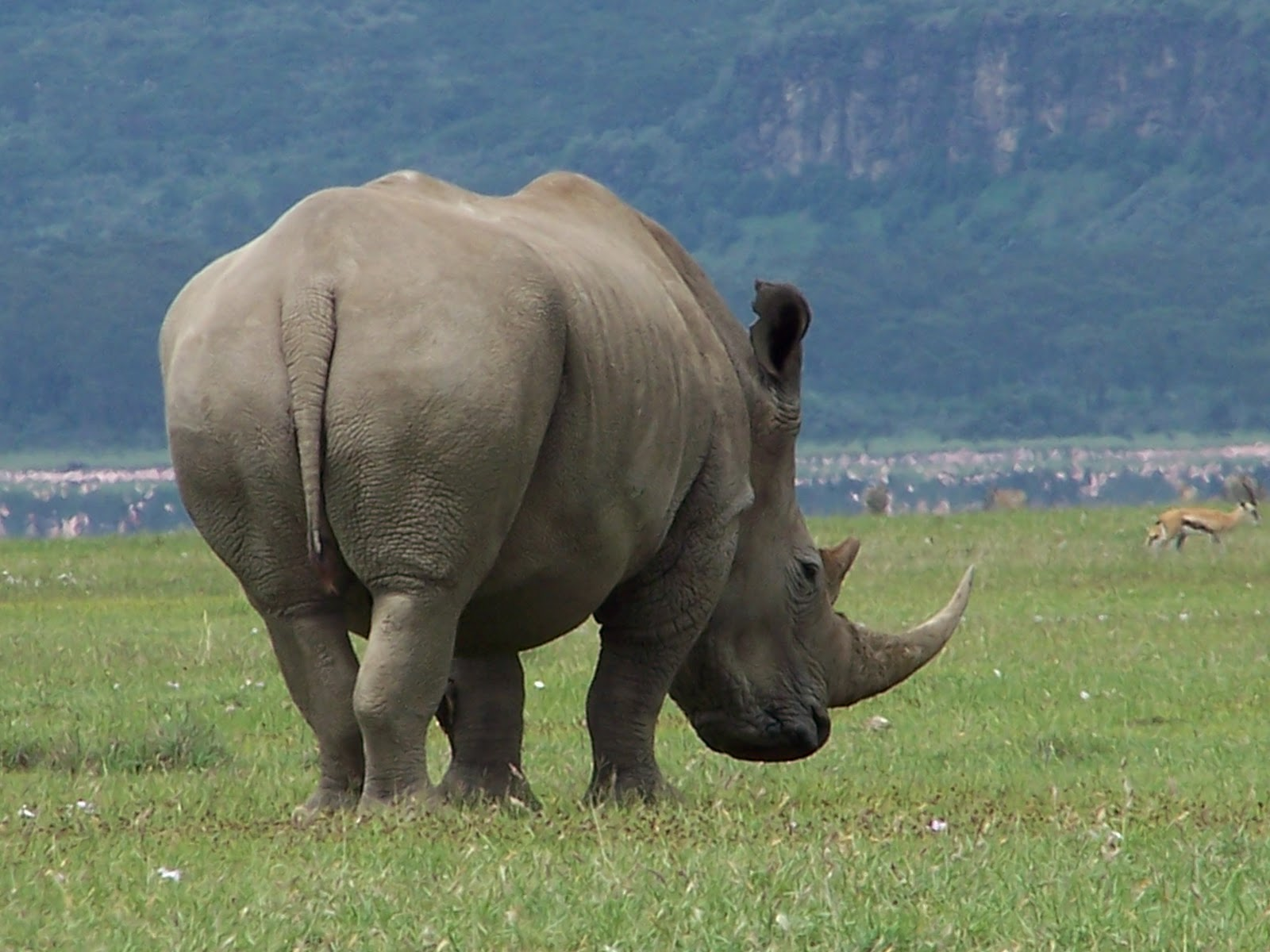 ENCYCLOPEDIA OF ANIMAL FACTS AND PICTURES: RHINOCEROS - photo#25