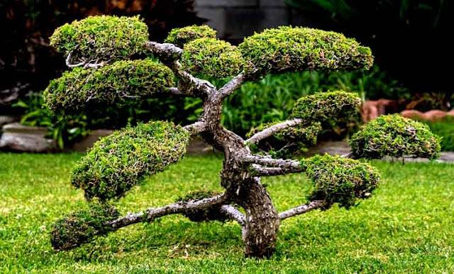 Pengertian, Jenis Tanaman dan Cara Membuat Mame Bonsai (Ukuran Paling Kecil)