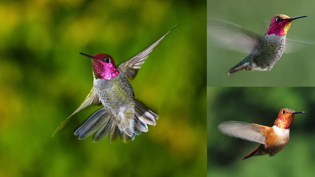 Shiny pink colored hummingbird captured while flying