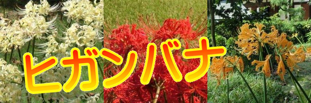鎌倉ヒガンバナ
